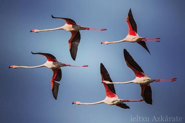 Flamencos volando en las salinas